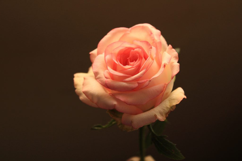 image of a pink rose